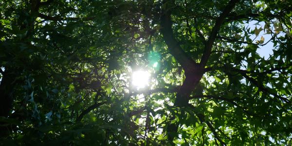 Baumkrone Ökologische Baubegleitung